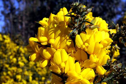 Flor de toxo 1