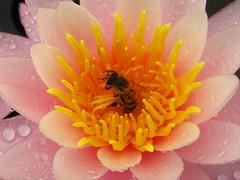 Uma abelha coleta pólen em uma flor de Ninfea em uma lagoa no Vale do Paraíba, SP