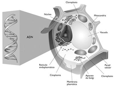 celula animal y celula vegetal. IMAGEN DE CELULA VEGETAL