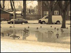 Spring Geese (Tim Noonan) Tags: park snow art cars digital photoshop vintage geese spring mood manipulation melt treatment tistheseason darklands copperlantern effetc amazingamateur proudshopper theperfectphotographer awardtree miasbest daarklands trolledandproud magiktroll