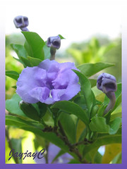 Brunfelsia pauciflora / B.calycina  (Yesterday-today-tomorrow, Day-noon-night) in our garden, April 2008