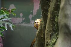 Golden-headed Lion Tamarin (cmlburnett) Tags: park zoo smithsonian lion national nationalzoo tamarin zoological nationalzoologicalpark leontopithecuschrysomelas smithsoniannationalzoologicalpark goldenheadedliontamarin leontopithecus goldenheaded chrysomelas