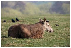 Red Deer - Shed it's Antlers (benwmbc) Tags: derbyshire deer antlers reddeer ticknall calkeabbey 14xextender 70200mmf4lis canon40d march2009