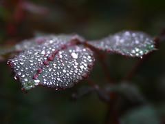 Silver drops (leheria) Tags: macro rain rose silver drops plan diamondclassphotographer rubyphotographer