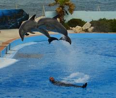 la realidad es que la gran mayoría de los delfines que vemos en los delfinarios son capturados en  el mar, separados de sus manadas y privados de su libertad y condenados a vivir en cautiverio. (CaptiveDolphins-vs-WildDolphins) Tags: malta dolphins shame delphinarium malte mediteraneo maltagozo marinelands mediterraneomarinepark captivedolphins themediteranneomarineparkinmaltaisashame unehonte unaverguenza dauphinscaptifs themediteranneomarineparkinsliemathemediteranneomarineparkinmalta themediteranneomarinepark dauphinsdelfines delfinescautivos