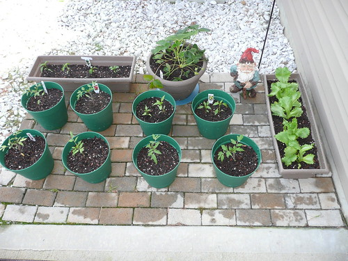1st day of re-potting the seedlings