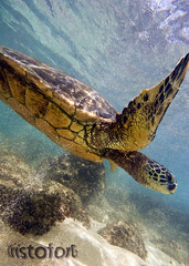 Flight of the Sea Turtle ( KristoforG) Tags: sea green animal hawaii sand underwater pacific turtle hawaiian housing splash custom reef snorkle waterproof gellert kristofor