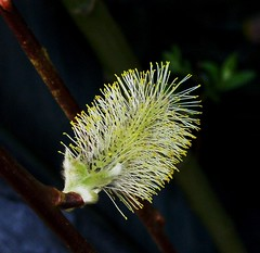Flor de sauce. / Willow flower. (berpala) Tags: espaa verde green spain sauce quality magic flor catedral textures len magicmoments astorga bierzo rosepetal ponferrada smrgsbord salix naturesfinest dinnerandamovie blueribbonwinner maragatos 5photosaday flickrsbest maragateria golddragon the4elements abigfave totalawesomeness platinumphoto anawesomeshot colorphotoaward flickrplatinum deniscollette superbmasterpiece flickraward diamondclassphotographer amazingamateur theunforgettablepictures brillianteyejewel adoublefave platinumheartaward betterthangood goldstaraward unlimitedphotos worldtrekker academyofphotographyparadiso thegreatshooter alwayscomment5 flickrbestpics llovemypics awesomeblossoms goldenheartaward 100commentgroup jediphotographer reflejoscatedraldelen oneofmypics
