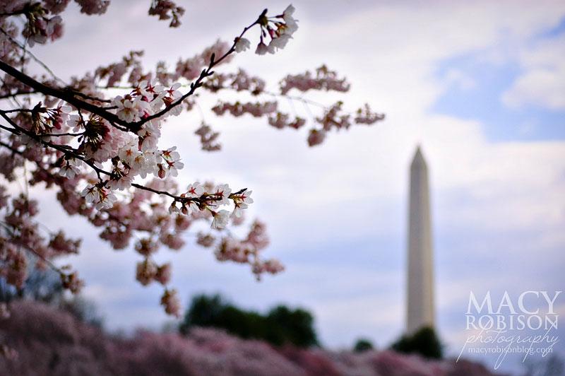 Cherry Blossom Festival - 2