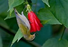 Tennesee-Warbler (Robert Strickland) Tags: birds move birdsnw09