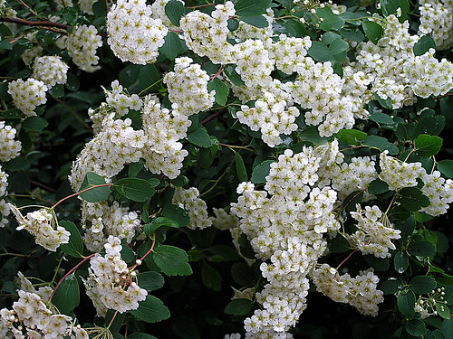 7 easy to care for flowering shrubs the garden lady white clouds by santeschianpest mightylinksfo