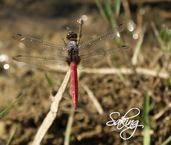 Dragon Fly (Saking--Little Busy) Tags: nature beauty fly kingdom stealth saqib saking concordians kingloi