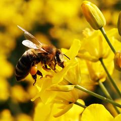 zoom zoom zoom (mimimalistic) Tags: summer flower animal yellow flying sommer bee gelb aachen blume blte raps tier biene niederlande fliegen flgel