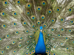 I'm coming.......Nature Peacock Bird Birds Jungle Forest (Sajjad Tufail.) Tags: life wild nature birds by canon photo wildlife sony captured peacock challenge sajjad tufail sonyphotochallenge