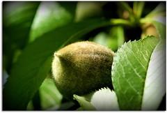 Baby Peach (scrapping61) Tags: california macro spring peach gilroy mygarden legacy 2009 tistheseason fruittrees bej infinestyle scrapping61 musicsbest newgoldenseal