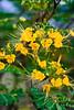 IMG_5443 (baltus15) Tags: canon flora costarica honeymoon rebelxt arenal 50mmf14 copperpod yellowpoinciana peltphorumpterocarpum pordicha