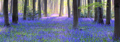 Bluebell Wood Panorama (dougchinnery.com) Tags: wood trees england panorama copyright mist english misty bluebells bulb forest sunrise woodland carpet dawn spring floor pano romance bulbs romantic wiltshire bluebell beech 167 thefatcat44 dougchinnery vosplusbellesphotos