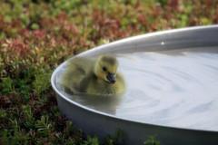IMG_5740 (Skokie Public Library) Tags: goose gosling greenroof skokiepubliclibrary