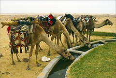 (845) Kamel-Tankstelle / Camel - filling station / Egypt (unicorn 81) Tags: africa travel sunset white color sahara nature animal animals trekking landscape nationalpark sand colorful desert northafrica dunes dune egypt camel egyptian colourful egipto coloured 2009 gypten animale egitto egypte reise egypten rundreise roundtrip egipt gypte mapegypt saharadesert whitedesert westerndesert misr nordafrika egypttrip libyandesert april2009 gypten deserttour aegyptus libyschewste unicorn81 weisewste  whitedesertnationalpark gyptusintertravel gyptenreise schulzaktivreisen saharacolors nationalparkweisewste nationalparkwhitedesert wstenreise treanim meinjahr2009
