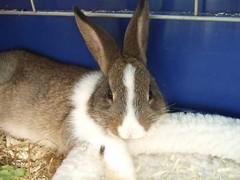 Mehr Hasis 025 (connielein) Tags: pet bunny may 2009 hasen zwergkaninchen