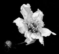 Piccolo mondo antico (White Red Flower) Tags: flowers bw more thorns fiori blackberries rubusulmifolius rovi piccolomondoantico littleancientworld