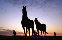 EL DORADO (The Family Dog) Tags: sunset sky horses horse sun colors silhouette caballo evening el equine dorado equines