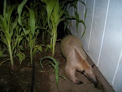 Anteater in the corn patch
