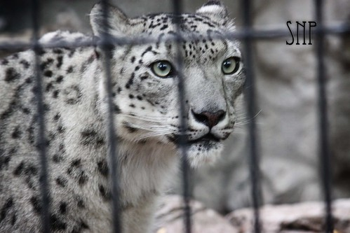 . snow leopard .