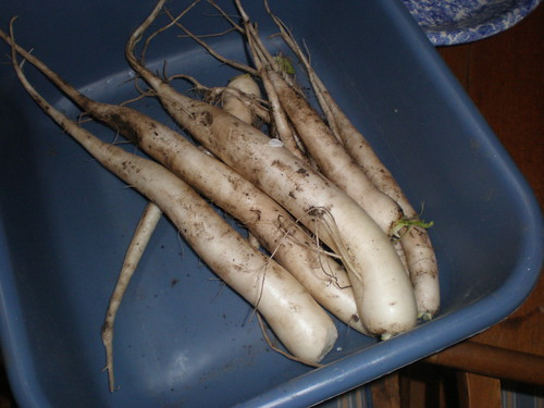 The Daikon harvest; not bad for only about two feet by four feet of garden space