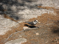 Grey Jay (frostpoint) Tags: bird greyjay
