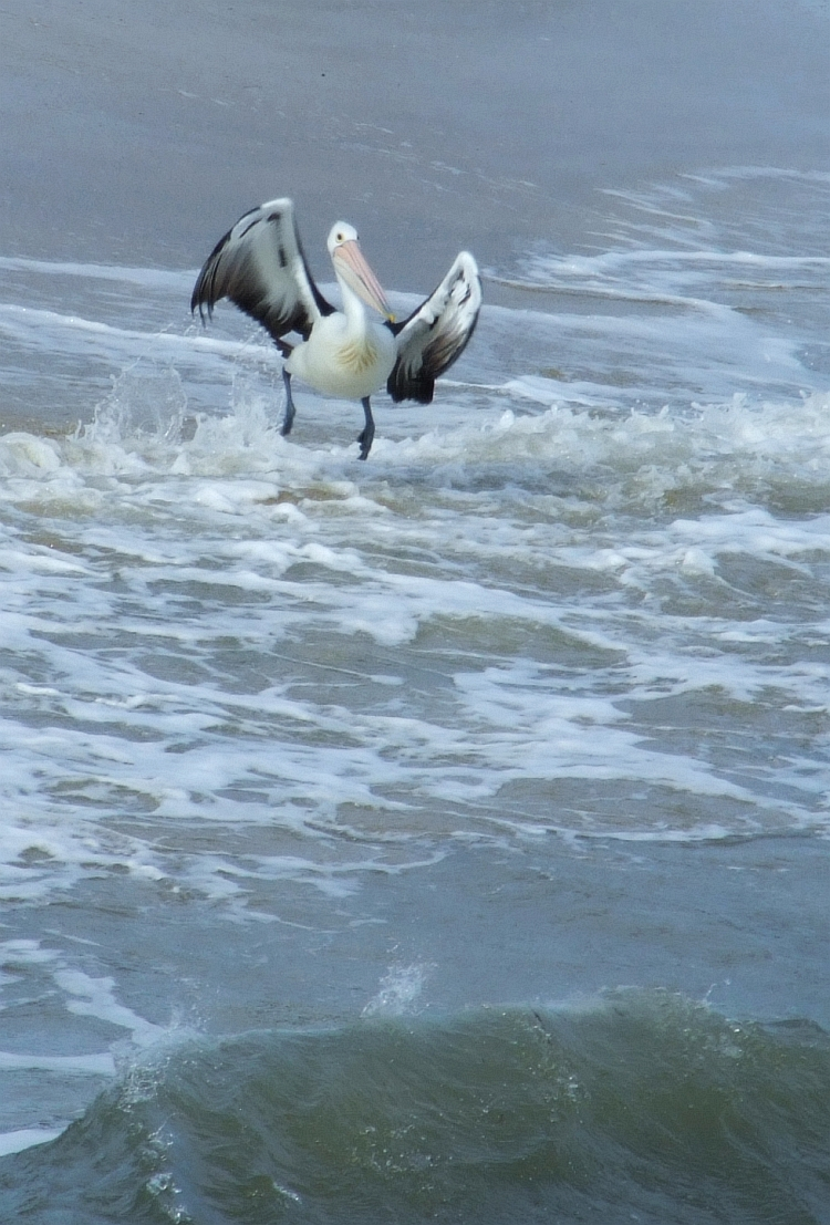 pelican in surf 03