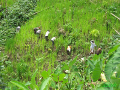 hlothlo/weeding in Mizoram (azara ralte) Tags: weed lo labour farmer agriculture cultivation weeding manualwork ricecultivation feh mizoram northeastindia shiftingcultivation swidden jhum jhumming hlothlo zomia