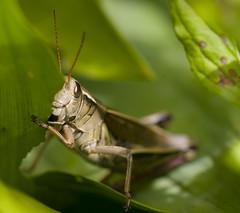7_09 grasshopper 7 (reflectionsofnature) Tags: nature minnesota insect grasshopper photocontesttnc10 lifetnc10