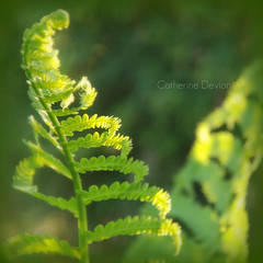 fern by evening light (catherine devion) Tags: sunset fern picnik backyardshot
