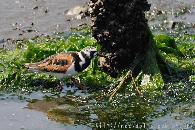 キョウジョシギ [Arenaria interpres]