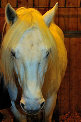 The white horse that looks yellow under the yellow light (jmvnoos in Paris) Tags: horses horse white paris france yellow jaune cheval nikon blanc sia chevaux d300 portedeversailles salondelagriculture parcdesexpositions saloninternationaldelagriculture jmvnoos rubyphotographer parisinternationalagriculturalshow parcdesexpositionsdelaportedeversailles