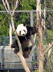 If you are looking for me, I'll be up in the trees! (RoxandaBear) Tags: winter tree zoo panda wind reaching branches windy bamboo climbing tai feb 2009 96 swaying amazingshot 22309 yard1 rubyphotographer selfharvest