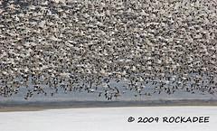 The Flight Pattern Is Full With Snows (ROCKADEE - Rockey & Dee) Tags: snow nature birds flying geese newjersey wildlife waterfowl thick rockey mcr warrencounty rockadee birdinginthewild