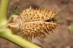 Spiky seedpod (kasia-aus) Tags: plant nature spiky australia canberra datura prickly 2009 act seedpod poisonous thornapple devilstrumpet daturastramonium