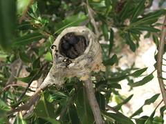 Hummingbird Babies in the Nest