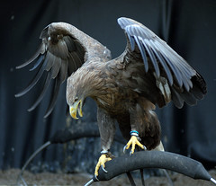 White Tailed Sea Eagle (Steve Wilson - classic view please) Tags: sea white bird closeup nikon eagle hawk raptor d200 predator tailed birdofprey erne seahawk seaeagle whitetailedseaeagle nikond200 haliaeetusalbicilla whitetailedseahawk