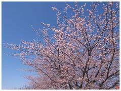 大寒桜 #01