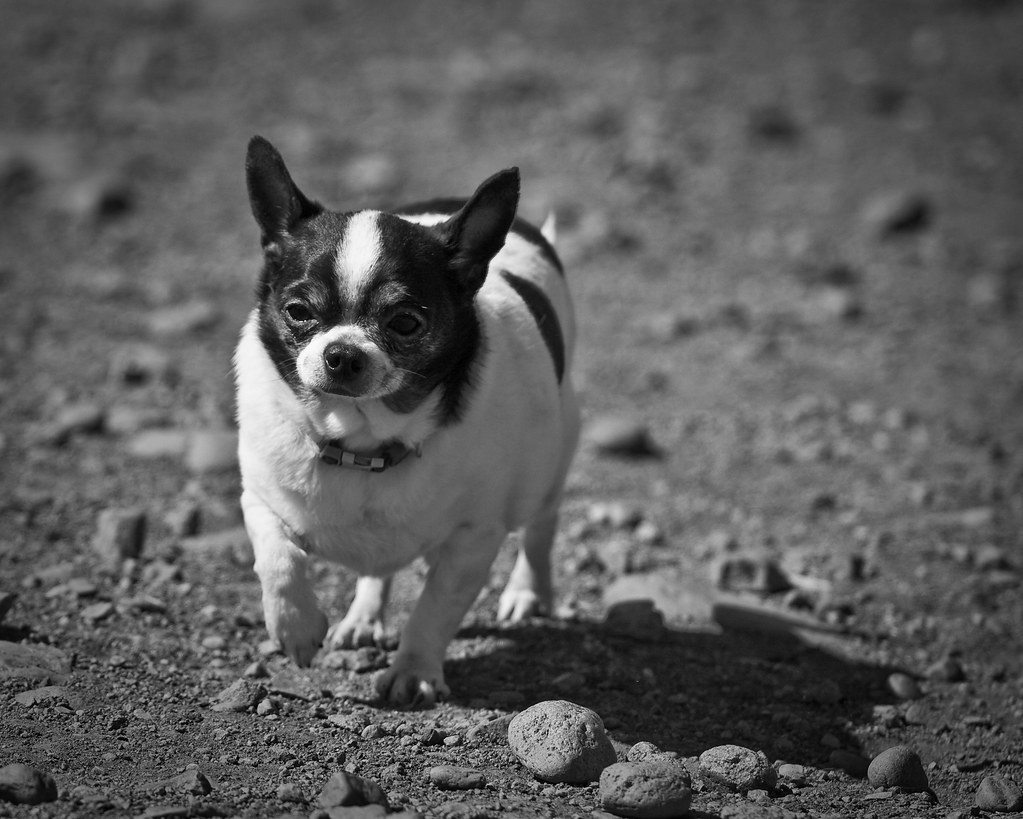 chihuahua black and white the world s best photos of chihuahua and fat flickr hive 830