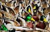 Escher Ducks (Lissa**) Tags: ny newyork duck longisland top20nature mallard southhavenpark aplusphoto