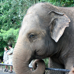 Asian elephant, Australia Zoo