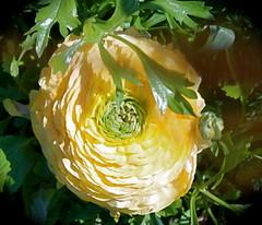 Yellow Ranunculus (candy_rose) Tags: flower nature yellow spring ranunculus full bloom bud fullbloom