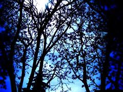 jacarandas y cielo azul (Clauminara) Tags: blue sky naturaleza tree azul mxico mexico arbol mexicocity df rboles arboles cielo universidad rbol autonoma metropolitana mexic ciudaddemexico xochimilco distritofederal uam mejico jacarandas mjico uamx universidadautnomametropolitanaunidadxochimilco