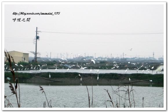 魚塭的白鷺鷥三