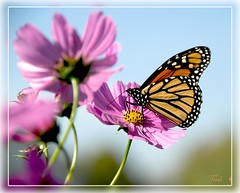 A Perfect Pair (Momba (Trish)) Tags: pink blue flower nature butterfly interestingness nikon tennessee bluesky explore monarch nikkor cosmos momba supershot interestingness94 i500 pinkcosmos colorphotoaward vosplusbellesphotos
