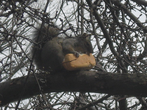 Squirrel Chowing Down on Hotdog Bun
